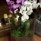 Orchidee 04